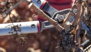 The benefits of annual pruning in the vineyard.